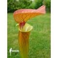 Plante à urnes Américaine ´Sarracenia flava var. Cuprea'