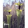 Plante à urnes Américaine ´Sarracenia flava var. Rugelii (020020)'