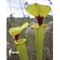 Plante à urnes Américaine ´Sarracenia flava var. Rugelii (960020)'