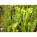 Plante à urnes Américaine ´Sarracenia flava'