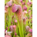 Plante à urnes américaine 'Sarracenia minor' 'starter'