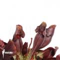 Plante à urnes Américaine ´Sarracenia purpurea var. Purpurea'