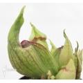 Plante à urnes Américaine Sarracenia purpurea (Schtroumpfs)