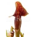 Plante à urnes américaine Sarracenia x 'Linda' 'M'