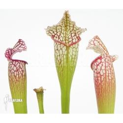 Sarracenia x leucophylla 'Royal WhiteRed'