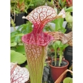 Plante à urnes Américaine 'Sarracenia 'Unique clone Araflora 01'