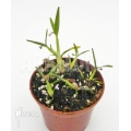 Miniature orchidée 'Scaphyglottis prolifera' 'S'