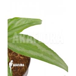 Schismatoglottis wallichii (long leaf) starter