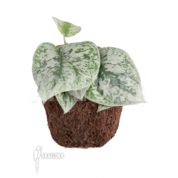 Scindapsus pictus Trebie