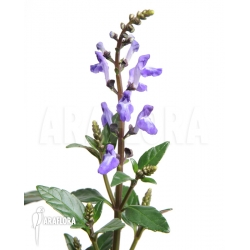 Scutellaria javanica purple flower