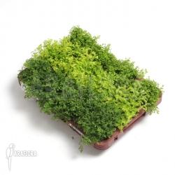 Selaginella for terrarium
