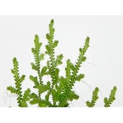 Selaginella serpens Ecuador