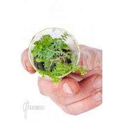 Selaginella uncinata XS