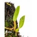 Orchidée  'Sophronitis coccinea'