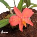 Orchidée 'Sophronitis wittigiana'