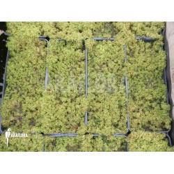 Sphagnum moss cleaned