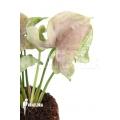 Syngonium podophyllum 'Roxanne'