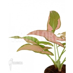 Syngonium podophyllum pink variegated RT