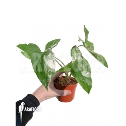 Syngonium podophyllum variegated RT