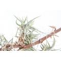 Bromélia 'Tillandsia bandensis'