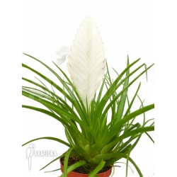 Tillandsia cyanea Ivory tower