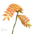 Bromélia 'Tillandsia dyeriana'