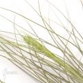 Tillandsia juncea (L)