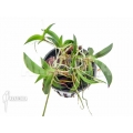 Orchidée 'Tolumnia hawkesiana'