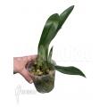 Orchidée 'Trichopilia turialbae'