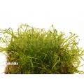 Mousse tropicale 'Pellia' 'Neblina' 'Monosolenium tenerum 'Neblina'