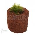 Mousse tropicale 'Pellia' 'Neblina' 'L' 'Monosolenium tenerum 'Neblina'