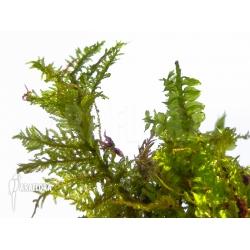 Tropical moss species Asia