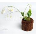 Utricularia alpina 'Henry piettier giant'