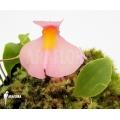 Utricularia (pièges à outre)