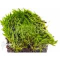 Utricularia bisquamata starter