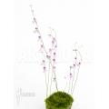 Utricularia blanchetti starter