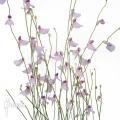 Utricularia blanchettii 'Chapada Diamantina'