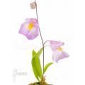 Utricularia endresii