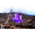 Utricularia humboldtii 'Serra do neblina'