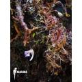 Utricularia jamesoniana flower