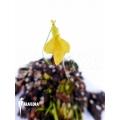 Utricularia mannii