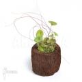 Utricularia nelumbifolia 'L'