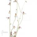 Utricularia parthenopipes
