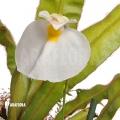 Utricularia praetermissa