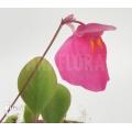 Utricularia quelchii 'Auyan'