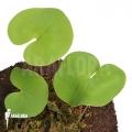 Utricularia reniformis 'Mata atlantica' 'L'