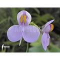 Utricularia reniformis 'Mata atlantica' 'S'