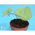 Utricularia reniformis 'Mata atlantica'