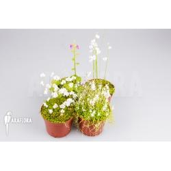 Utricularia Starter package 4