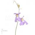 Utricularia x alpina x humboldtii 'Nudlinger flair'